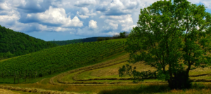 Hillside with trellised grape vines, cut hay, and large tree in foreground