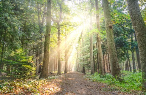 A trail leading through a forest of tall evergreen trees with a burst of sunshine coming through.